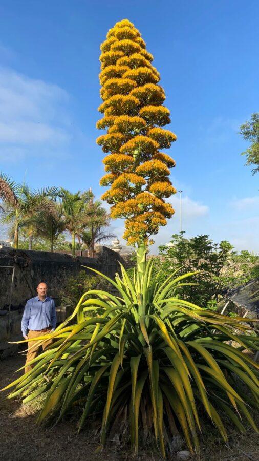 Floración agava jigante 1 506x900 - El Agave caribeño gigante del Jardín Botánico de Puerto de la Cruz  florece tras 30 años de espera
