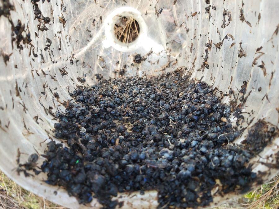 Pimelia 1 2 900x674 - Transición Ecológica Canarias  alerta del peligro que supone para la fauna el abandono de envases y residuos en la naturaleza