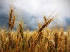 Exxceso de nitrogeno en los cultivos de trigo explicaria la alta prevalencia de la celiaquia 238x178 - Noticanarias.-Noticias Canarias - Últimas   Noticias de Canarias,España,Europa,México y el Mundo